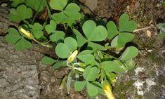 Gyomnövényből gyógyító gyom - Egészségtér Herbalism, Vitamins, Plants, Herbal Medicine, Plant, Vitamin D, Planets