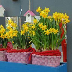 'Tete a Tete' ist der Klassiker unter den Topfnarzissen. Die Narzisse aächst aber auch im Garten sehr schön. Pflanzzeit ist Herbst. Blumenzwiebeln sin bei www.fluwel.de erhältlich.