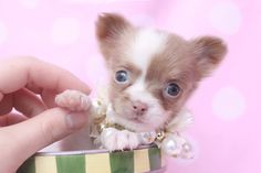 Tiny Teacup Chihuahua Puppies Click to shop chihuahua clothing and accessories.