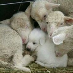 A livestock protection dog pup has sought the comfort of a group of young lambs. I raised my Great Pyrenees pup with my sheep. Had a flock of registered Border Cheviot Sheep for 15 years. She was the best dog! Farm Animals, Animals And Pets, Funny Animals, Cute Animals, Funny Pets, Funny Chihuahua Quotes, Funny Farm, Vegan Animals, Wild Animals