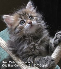best images ideas about siberian kitten - most affectionate cat breeds Puppies And Kitties, Cute Cats And Kittens, Baby Cats, Kittens Cutest, Pretty Cats, Beautiful Cats, Animals Beautiful, Pretty Kitty, Cute Baby Animals