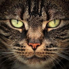 This reminds me of Tigerstar from Warriors XD awesome pic though!!