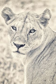lioness pencil drawing...