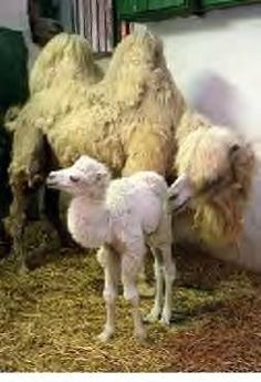 albino baby camel Not albino. They come white all of the time. - albino baby camel Not albino. They come white all of the time. Amazing Animals, Unusual Animals, Animals Beautiful, Alpacas, Cute Baby Animals, Animals And Pets, Melanistic Animals, Rare Albino Animals, Baby Camel