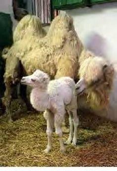 Albino Camel - Bing Images