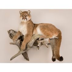 Life Size Bear Taxidermy and Mountain Lion Mounts Taxidermy Fox, Taxidermy Decor, Taxidermy Display, Bobcat Mounts, Deer Mounts, Hunting Gifts, Hunting Dogs, Deer Hunting, Animal Action