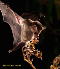 Bats are some of the most fascinating and misunderstood creatures in the world, and few know this better than Merlin Tuttle, the world's leading bat biolog