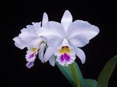 Cattleya labiata semi-alba