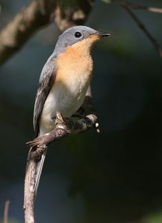 Leaden Flycatcher female (Myiagra rubecula)
