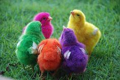 The rainbow Chicks