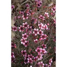 Monrovia 2.6-Quart Pink Dwarf New Zealand Tea Tree Flowering Shrub