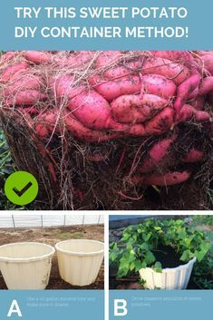 Learn how to harvest a massive sweet potato crop from DIY containers. Use these tips to set up containers to easily grow your own sweet potatoes in the yard, deck or patio. How to Grow a Massive Sweet Potato Harvest With DIY Containers Growing Veggies, Growing Plants, Potato Growing Containers, Growing Green Beans, Organic Gardening, Gardening Tips, Potato Gardening, Kitchen Gardening, Gardening Services