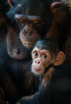 Schimpansen by Frank Getzke on 500px