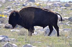 """""""Buffalo"""" on Antelope Island, #Utah-----------not so---- this is a Bison on Antelope Is.    What most of Americans call Buffalo are actually BISON.  I goggled and found Buffalo grow in Africa & Asia. Bison are native to North & South America.  Learn something new every day : )"""