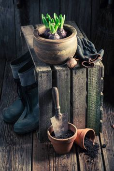 planting a green crocus and old clay pots