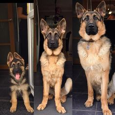 Dog shedding causes can include a lack of grooming, a bad diet, and skin parasites in dogs. Some dog breeds are prone to shedding too. Learn how to stop shedding in dogs. German Shepherd Pictures, German Shepherd Puppies, Baby German Shepherds, Rottweiler, Raza Pug, Schaefer, Dog Shedding, Retriever Puppy, Cute Dogs And Puppies