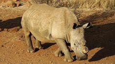 Zimbabwe gaat de hoorns van zo'n 700 neushoorns verwijderen om stropers te…