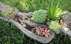 Succulents in drift wood Handmade by K8 Vision