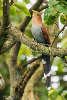 Squirrel Cuckoo by Erik Alpízar on 500px