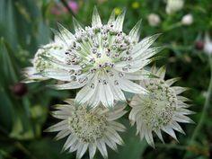 idée de plantes d'ombre - Astrance à fleurs ressemblent à des étoiles
