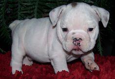 """STYX"" 8 weeks Male Available  $2200  www.woodcreekranchbulldogs.com"