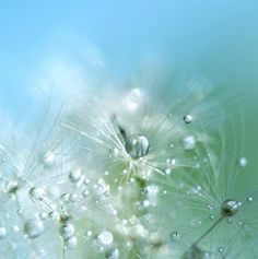 Dandelion I. by Mia Minor, via Behance the thinnest wisp / holds the weight of beauty / with grace