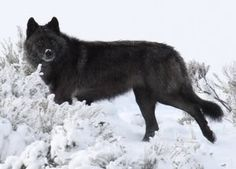 Black Wolf by NatalieJumblat, via Flickr-looks like one of my dogs. what is and what will always be