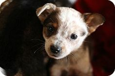 PLEASE ADOPT! new Smyrna beach, FL - Australian Cattle Dog. Meet Sheba a Puppy for Adoption.