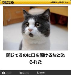 閉じてるのに口を開けるなと叱られた - ネコへのボケ[42060006] - ボケて(bokete) Animals And Pets, Funny Animals, Cute Animals, Funny Animal Pictures, Funny Images, I Love Cats, Cute Cats, Cat Life, Funny Comics
