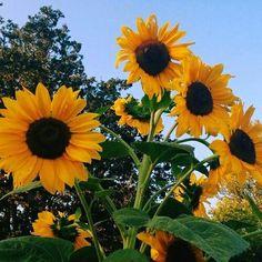 Love for flowers 💛 #sunflower