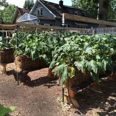 Using straw bales makes Lansing woman's garden accessible | Straw Bale Gardening | Scoop.it