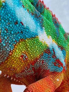 Chameleon close-up...