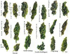 Cannabis Tipes