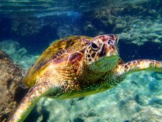 Hawaii Maui Green Sea Turtle Photos