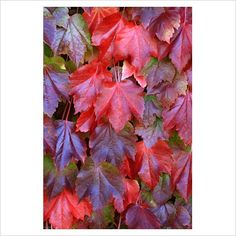 GAP Photos - Garden & Plant Picture Library - Parthenocissus 'Tircuspidata' - Virginia Creeper in early autumn - GAP Photos - Specialising in horticultural photography