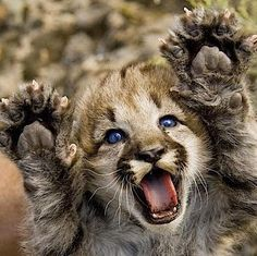 Puma or mountain lion kittens are born spotted, with blue eyes & rings on their tails. (NPS photo by Grand Canyon SRM) Cute Baby Animals, Animals And Pets, Funny Animals, Baby Wild Animals, Animals In The Wild, Big Animals, Nature Animals, Funny Cats, Beautiful Cats