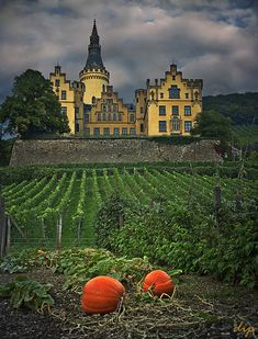 Garden in Germany with vineyard and pumpkins.