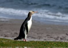 Yellow-eyed Penguin Megadyptes antipodes - Google Search