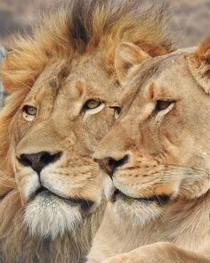"""""""King & His Queen"""", Lion Couple ; Close-up Portrait #lioncouple #lionlove #lionportrait #lionface #malelion #lionmale #lion #lioness #femalelion #lionfemale #pantheraleo"""