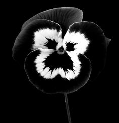 Black and white pansy