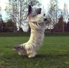 Skye Terrier Dog Breed Information, Pictures, Characteristics & Facts – Dogtime Skye Terrier, Terrier Mix, Pug, Chihuahua Dogs, Pet Dogs, Dogs And Puppies, Doggies, Panda Dog, American Staffordshire