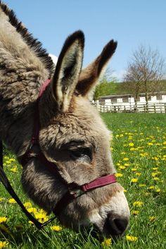 Pregnant Donkey Animals Pinterest Donkey Animal And