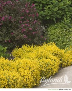 Bangle™ Dwarf Broom - Genista lydia 'Select' | Bylands Nurseries Ltd.
