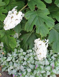 Lorena Raspanti paesaggista   giardino privato Imola - Ortensia quercifolia e Lamium