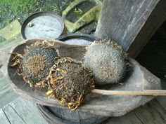 Large dried sunflower heads
