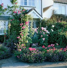 Hollyhocks,roses and echium vulgare surround the front door of grafton cottage,staffordshire