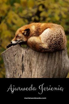 Ajurweda jesienią Asana, Fox, Animals, Animales, Animaux, Animal Memes, Animal, Foxes, Animais