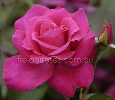 Treloar Roses - PETER FRANKENFELD - STANDARD