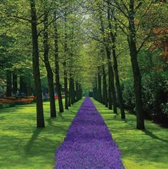 A path of purple flowers blooms between rows of trees at Keukenhof Gardens near Amsterdam, The Netherlands.