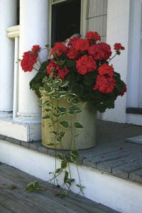 Red Geraniums--so beautifully classic, especially with any trailing plant. Container Plants, Container Gardening, Red Geraniums, Malva, Garden Planters, Summer Flowers, Porch Decorating, Lawn And Garden, Garden Landscaping